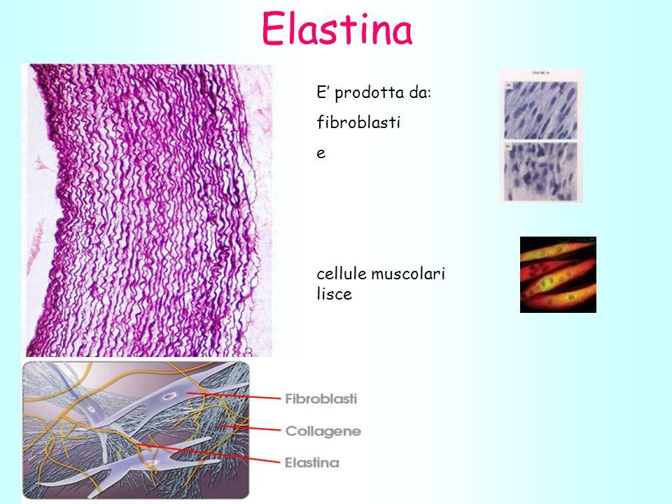 E prodotta da: fibroblasti e cellule muscolari lisce Elastina
