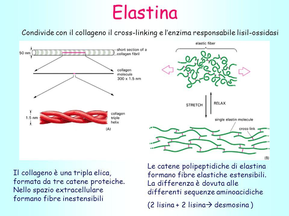 Il collageno è una tripla elica, formata da tre catene proteiche.