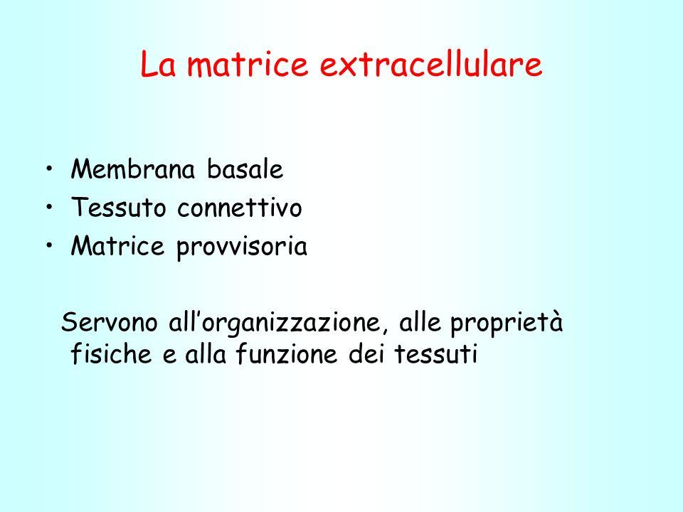 La matrice extracellulare Membrana basale Tessuto connettivo Matrice provvisoria Servono allorganizzazione, alle proprietà fisiche e alla funzione dei tessuti