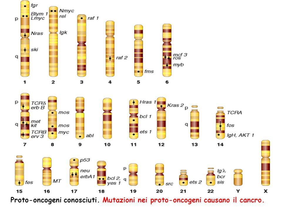 Proto-oncogeni conosciuti. Mutazioni nei proto-oncogeni causano il cancro.