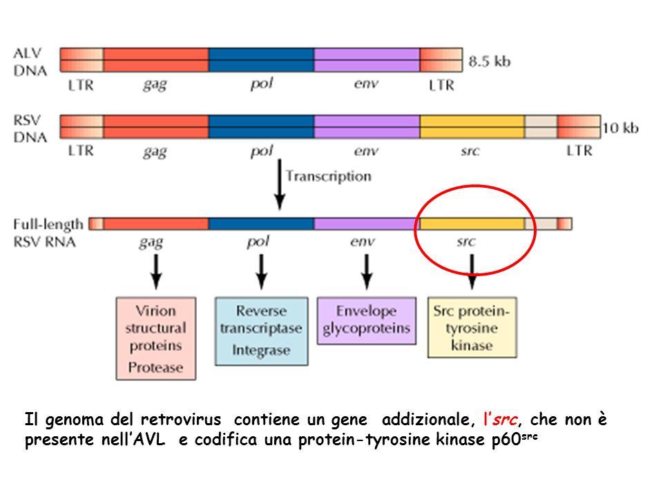Il genoma del retrovirus contiene un gene addizionale, lsrc, che non è presente nellAVL e codifica una protein-tyrosine kinase p60 src
