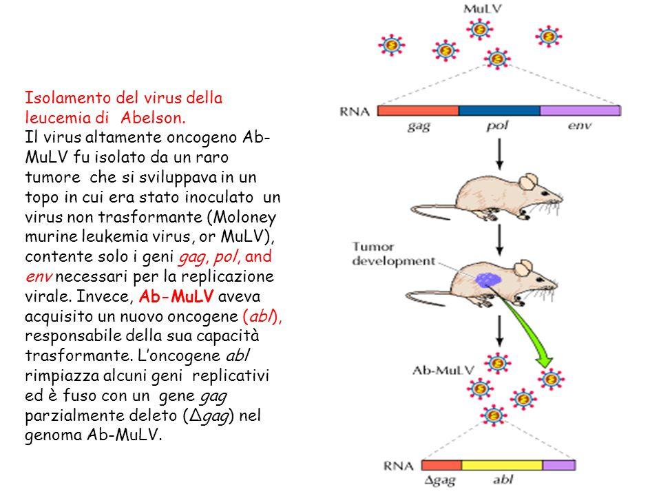 Isolamento del virus della leucemia di Abelson. Il virus altamente oncogeno Ab- MuLV fu isolato da un raro tumore che si sviluppava in un topo in cui