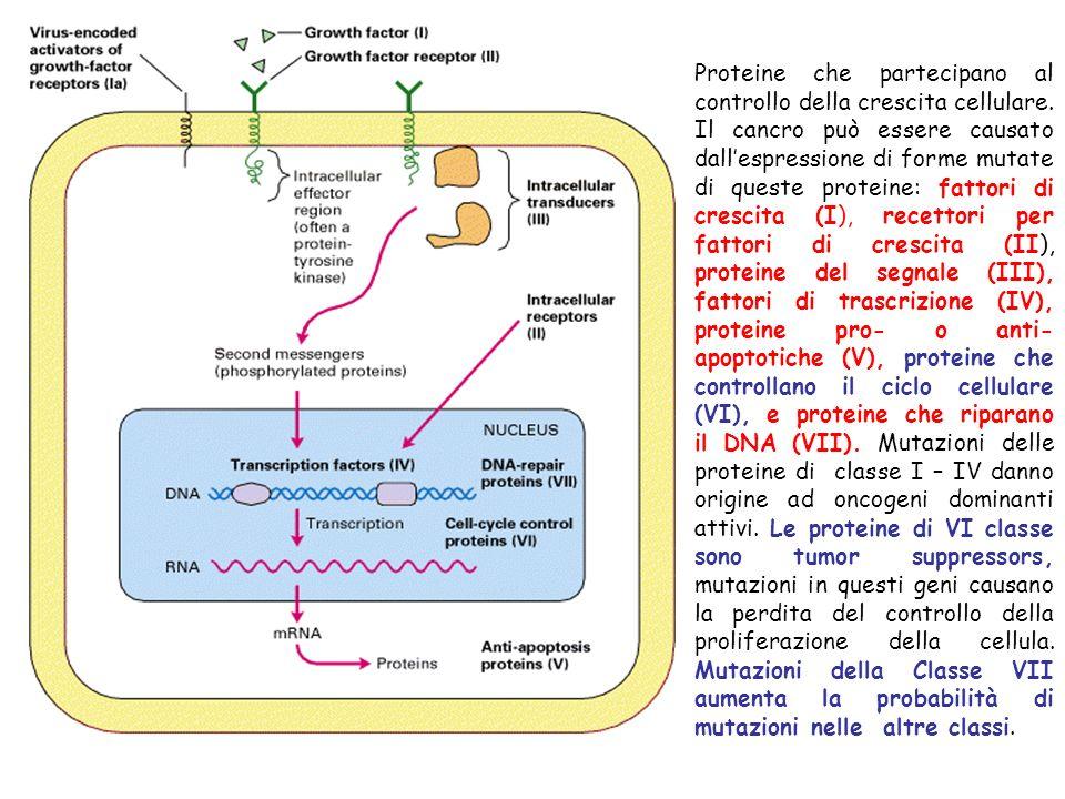Proteine che partecipano al controllo della crescita cellulare. Il cancro può essere causato dallespressione di forme mutate di queste proteine: fatto