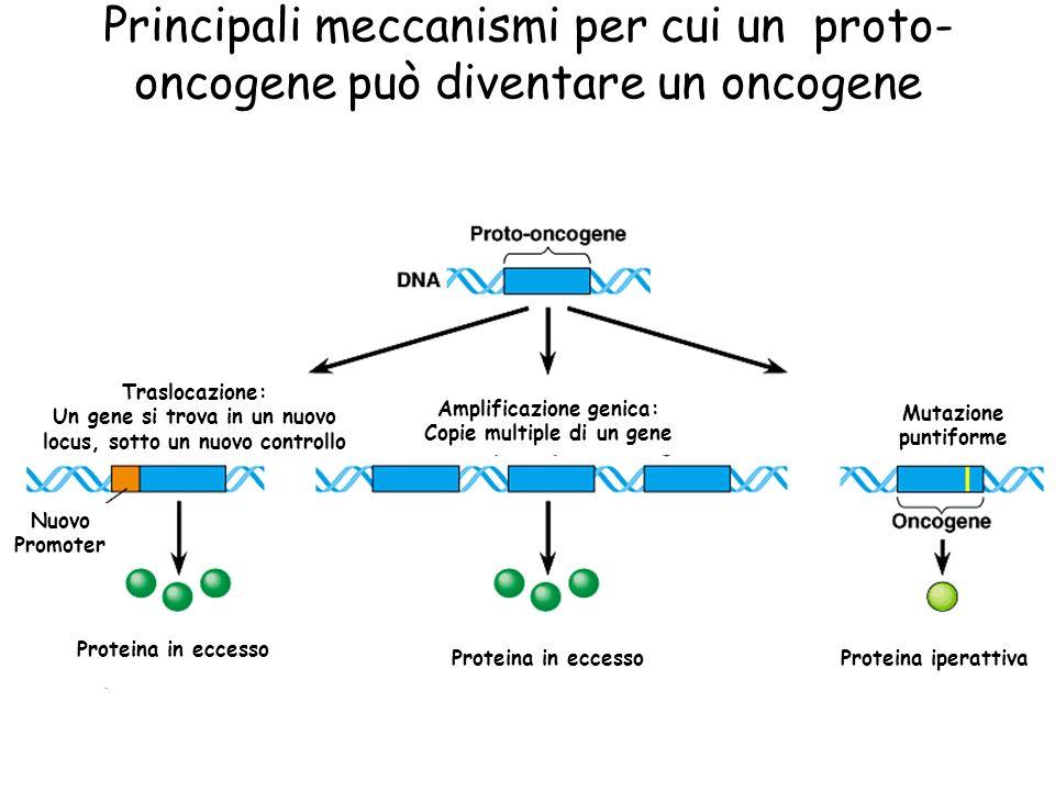 Principali meccanismi per cui un proto- oncogene può diventare un oncogene Traslocazione: Un gene si trova in un nuovo locus, sotto un nuovo controllo Amplificazione genica: Copie multiple di un gene Mutazione puntiforme Proteina in eccesso Proteina iperattiva Nuovo Promoter