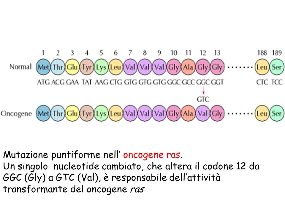 Mutazione puntiforme nell oncogene ras. Un singolo nucleotide cambiato, che altera il codone 12 da GGC (Gly) a GTC (Val), è responsabile dellattività