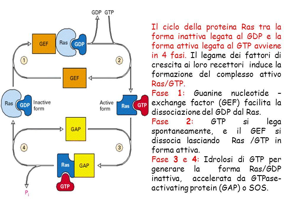 Il ciclo della proteina Ras tra la forma inattiva legata al GDP e la forma attiva legata al GTP avviene in 4 fasi. Il legame dei fattori di crescita a