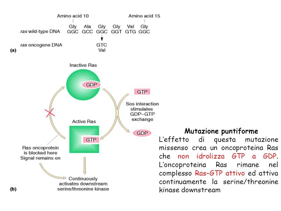 Mutazione puntiforme Leffetto di questa mutazione missenso crea un oncoproteina Ras che non idrolizza GTP a GDP. Loncoproteina Ras rimane nel compless