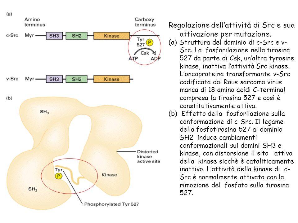 Regolazione dellattività di Src e sua attivazione per mutazione. (a)Struttura del dominio di c-Src e v- Src. La fosforilazione nella tirosina 527 da p