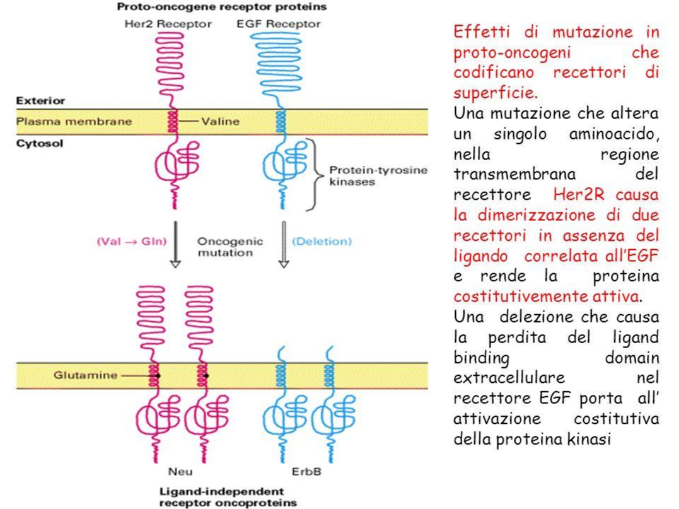 Effetti di mutazione in proto-oncogeni che codificano recettori di superficie. Una mutazione che altera un singolo aminoacido, nella regione transmemb