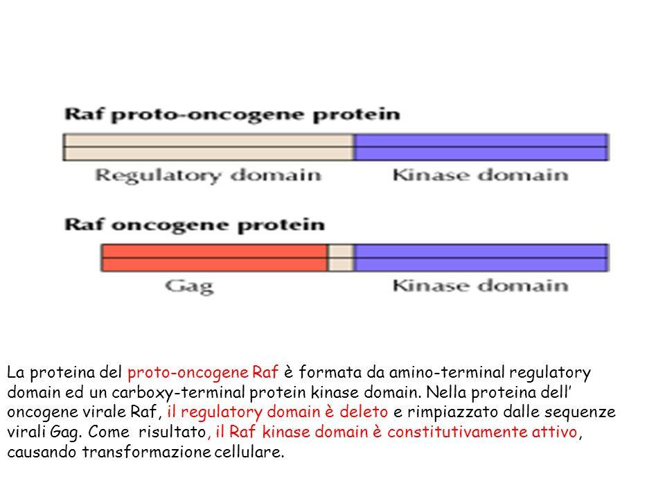 La proteina del proto-oncogene Raf è formata da amino-terminal regulatory domain ed un carboxy-terminal protein kinase domain. Nella proteina dell onc