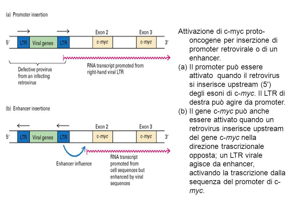 Attivazione di c-myc proto- oncogene per inserzione di promoter retrovirale o di un enhancer. (a)Il promoter può essere attivato quando il retrovirus