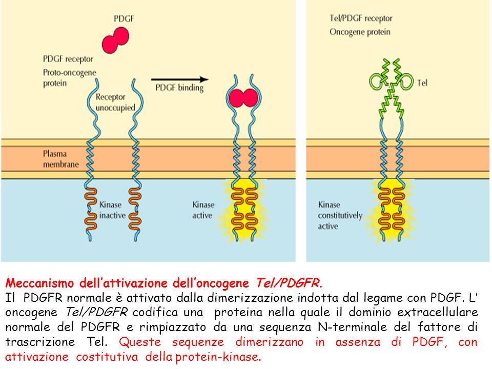 Meccanismo dellattivazione delloncogene Tel/PDGFR. Il PDGFR normale è attivato dalla dimerizzazione indotta dal legame con PDGF. L oncogene Tel/PDGFR