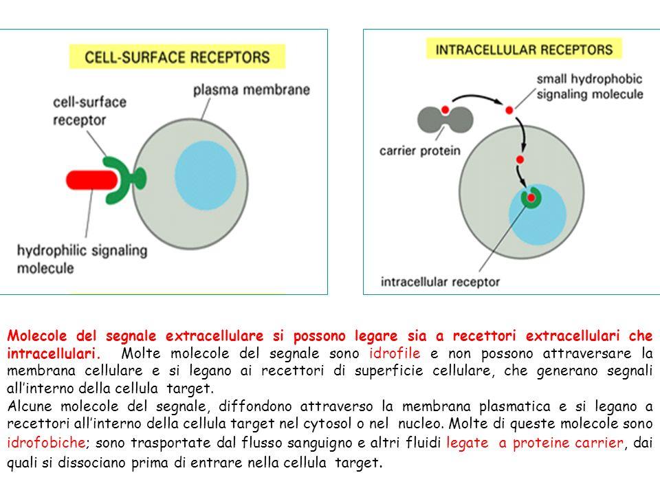 Molecole del segnale extracellulare si possono legare sia a recettori extracellulari che intracellulari. Molte molecole del segnale sono idrofile e no