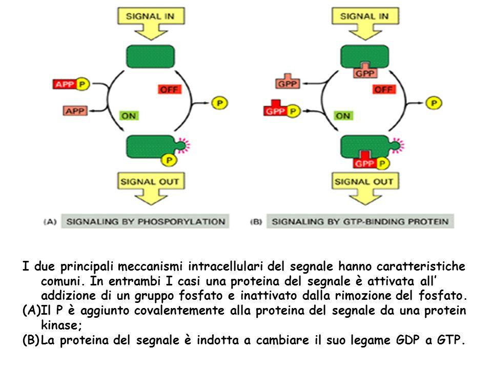 I due principali meccanismi intracellulari del segnale hanno caratteristiche comuni. In entrambi I casi una proteina del segnale è attivata all addizi