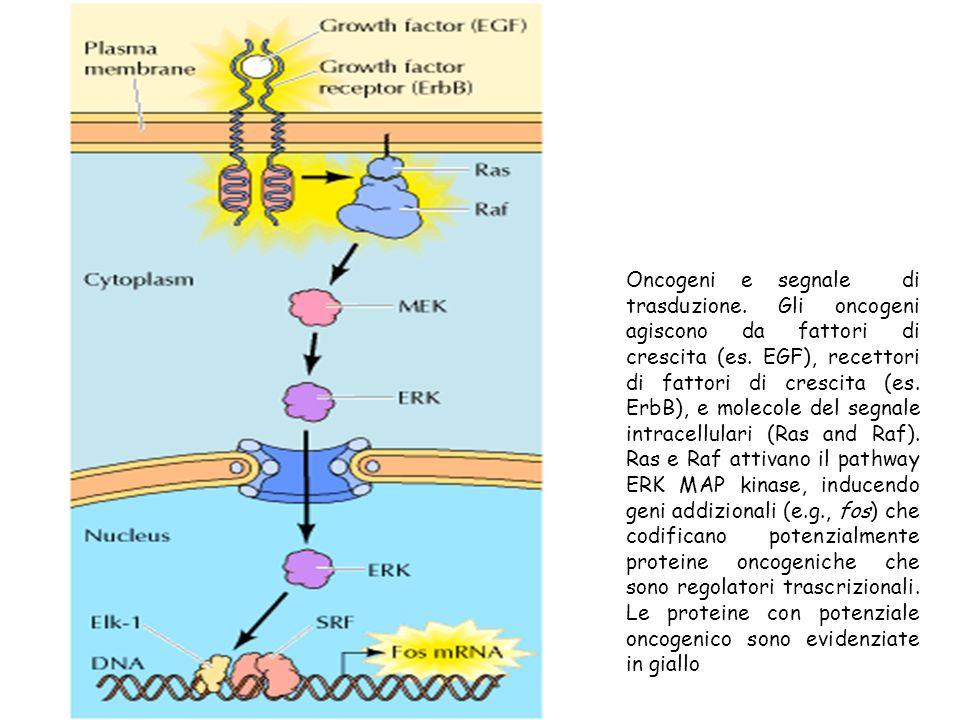 Oncogeni e segnale di trasduzione. Gli oncogeni agiscono da fattori di crescita (es. EGF), recettori di fattori di crescita (es. ErbB), e molecole del