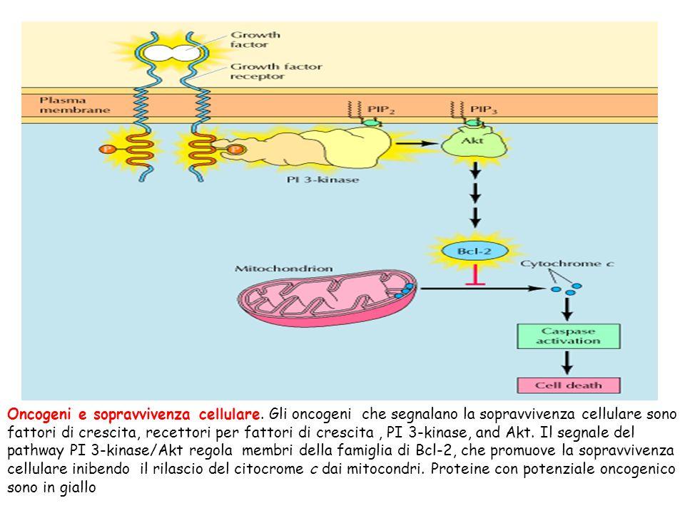 Oncogeni e sopravvivenza cellulare. Gli oncogeni che segnalano la sopravvivenza cellulare sono fattori di crescita, recettori per fattori di crescita,