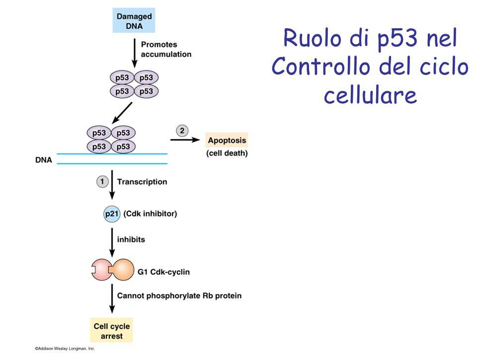 Ruolo di p53 nel Controllo del ciclo cellulare