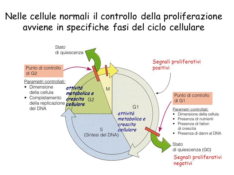 Nelle cellule normali il controllo della proliferazione avviene in specifiche fasi del ciclo cellulare Segnali proliferativi negativi Segnali proliferativi positivi attività metabolica e crescita cellulare