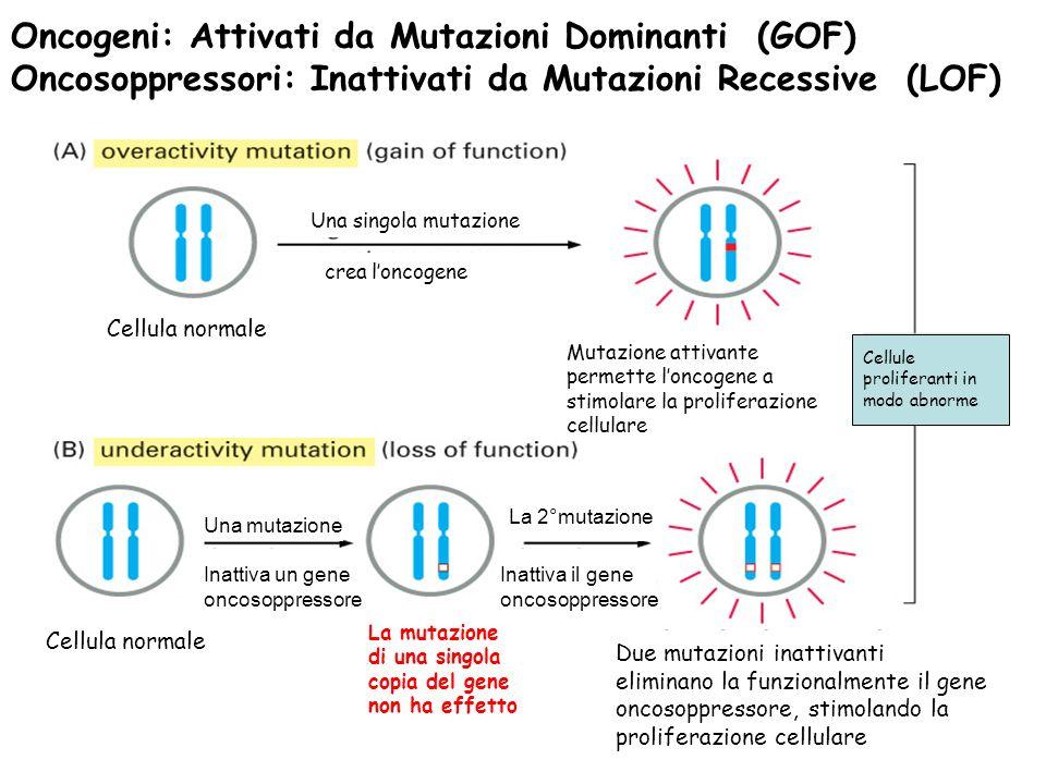 Oncogeni: Attivati da Mutazioni Dominanti (GOF) Oncosoppressori: Inattivati da Mutazioni Recessive (LOF) Cellule proliferanti in modo abnorme Mutazione attivante permette loncogene a stimolare la proliferazione cellulare Cellula normale Una singola mutazione crea loncogene Due mutazioni inattivanti eliminano la funzionalmente il gene oncosoppressore, stimolando la proliferazione cellulare Cellula normale Una mutazione Inattiva un gene oncosoppressore La mutazione di una singola copia del gene non ha effetto La 2°mutazione Inattiva un gene oncosoppressore Inattiva il gene oncosoppressore