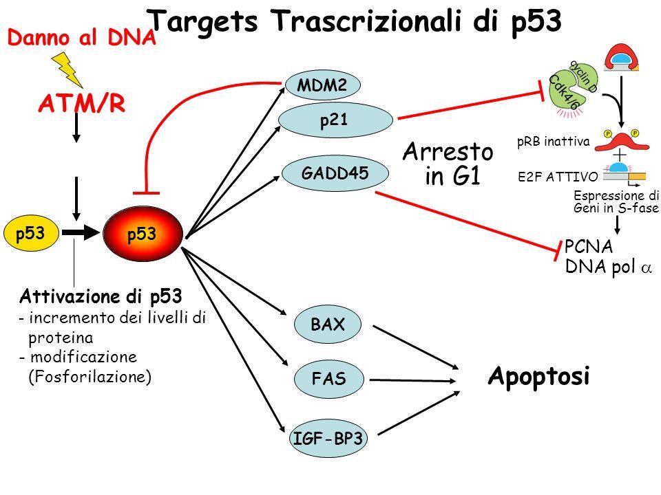 p53 MDM2 p21 GADD45 BAX FAS IGF-BP3 Cdk4/6 cyclin D + Espressione di Geni in S-fase pRB inattiva E2F ATTIVO PCNA DNA pol Apoptosi Arresto in G1 Targets Trascrizionali di p53 Attivazione di p53 - incremento dei livelli di proteina - modificazione (Fosforilazione) Danno al DNA ATM/R