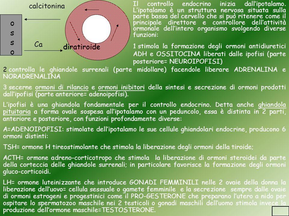 ossoosso calcitonina Ca diratiroide Il controllo endocrino inizia dallipotalamo. Lipotalamo è un struttura nervosa situata sulla parte bassa del cerve