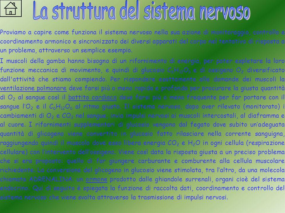Proviamo a capire come funziona il sistema nervoso nella sua azione di monitoraggio, controllo e coordinamento armonico e sincronizzato dei diversi ap
