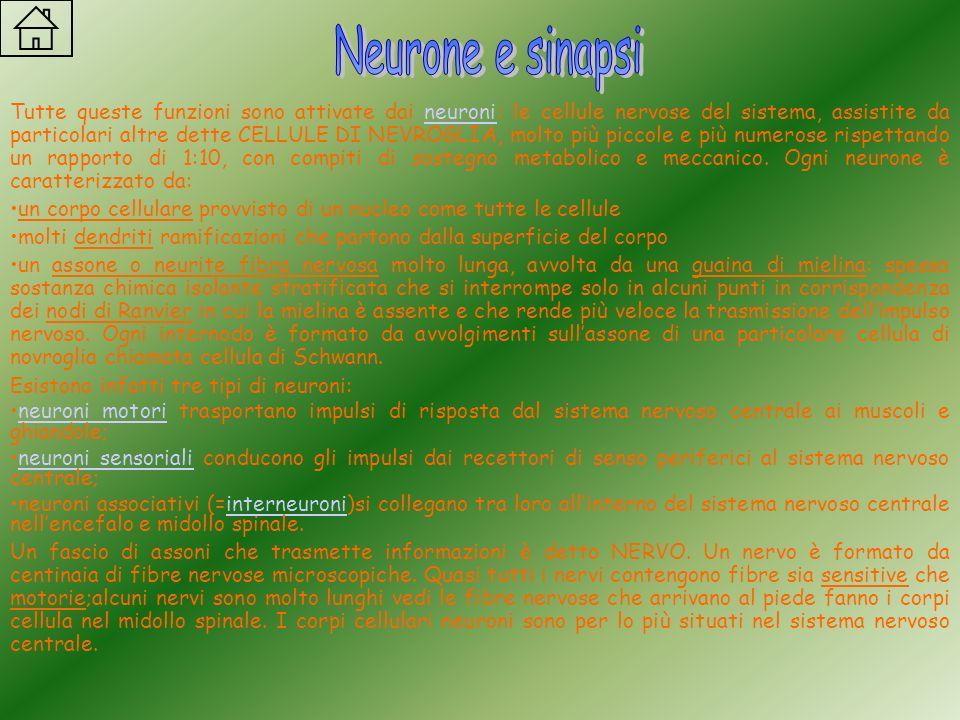 Tutte queste funzioni sono attivate dai neuronineuroni: le cellule nervose del sistema, assistite da particolari altre dette CELLULE DI NEVROGLIA, mol