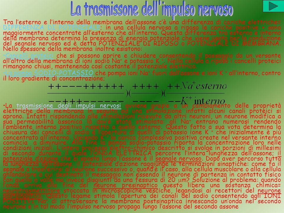 Tra lesterno e linterno della membrana dellassone cè una differenza di cariche elettriche= DIFFERENZA DI POTENZIALE; in una cellula nervosa a riposo l