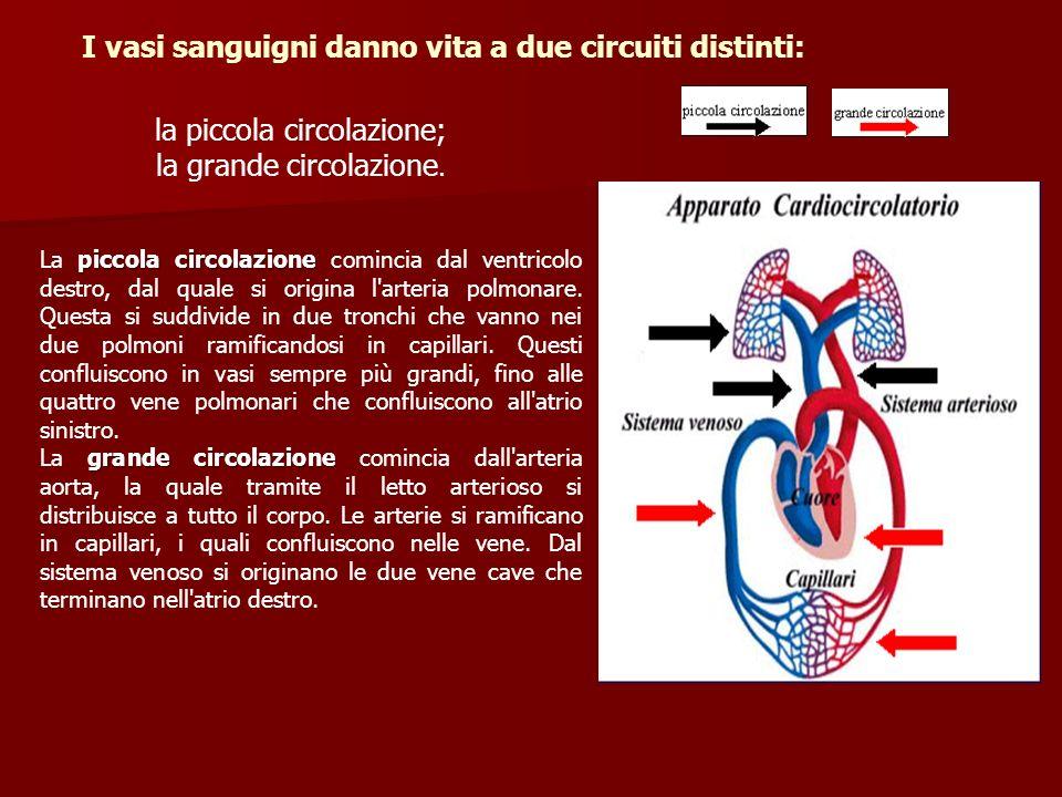 la piccola circolazione; la grande circolazione. I vasi sanguigni danno vita a due circuiti distinti: piccola circolazione La piccola circolazione com