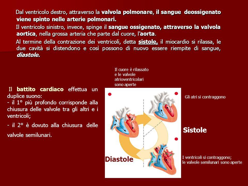 Dal ventricolo destro, attraverso la valvola polmonare, il sangue deossigenato viene spinto nelle arterie polmonari. Dal ventricolo destro, attraverso