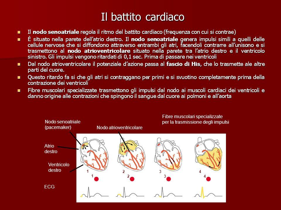 Il battito cardiaco Il nodo senoatriale regola il ritmo del battito cardiaco (frequenza con cui si contrae) Il nodo senoatriale regola il ritmo del ba