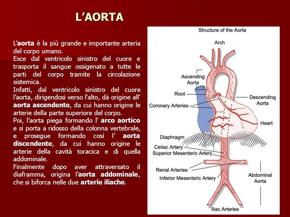LAORTA 1 234 L'aorta è la più grande e importante arteria del corpo umano. Esce dal ventricolo sinistro del cuore e trasporta il sangue ossigenato a t