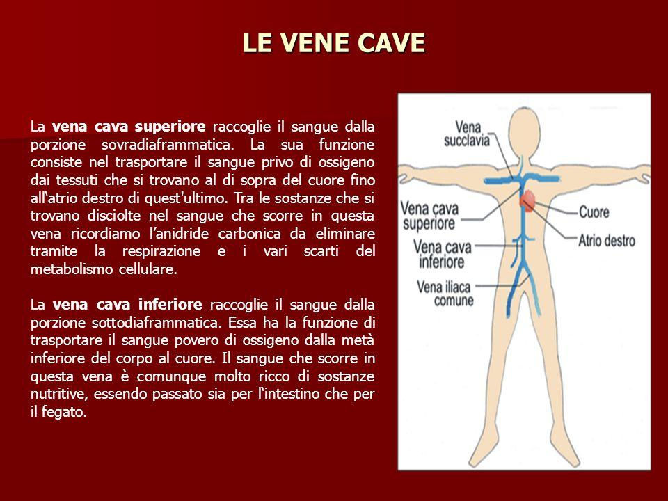 La vena cava superiore raccoglie il sangue dalla porzione sovradiaframmatica. La sua funzione consiste nel trasportare il sangue privo di ossigeno dai