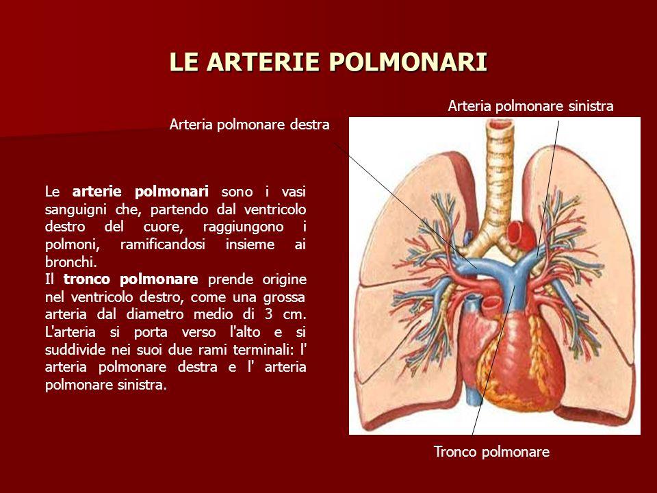Le arterie polmonari sono i vasi sanguigni che, partendo dal ventricolo destro del cuore, raggiungono i polmoni, ramificandosi insieme ai bronchi. Il