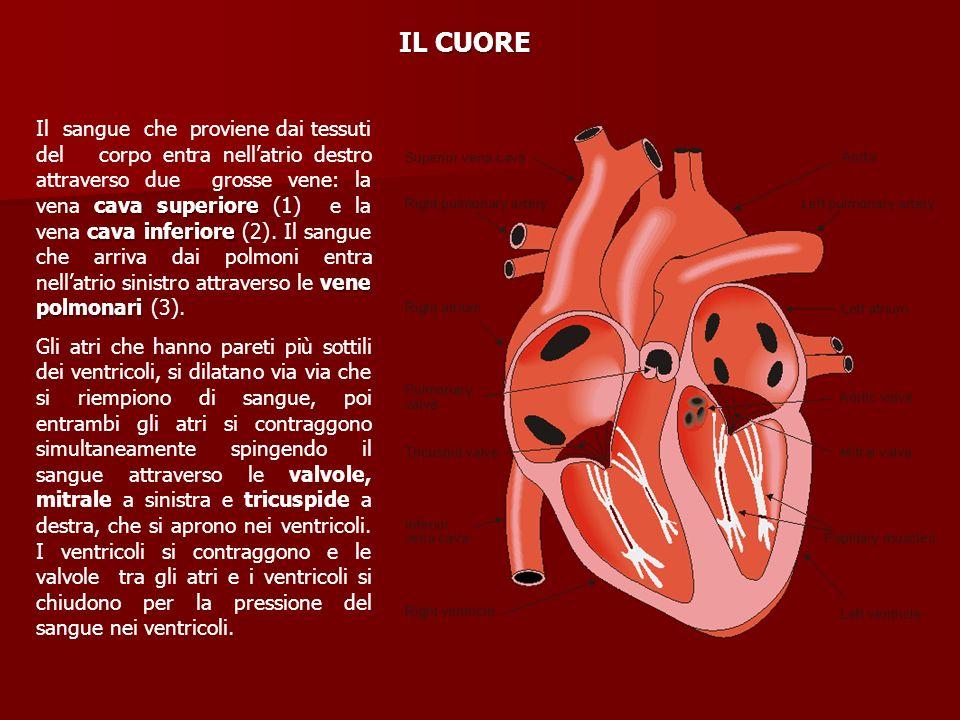 cava superiore cava inferiore vene polmonari Il sangue che proviene dai tessuti del corpo entra nellatrio destro attraverso due grosse vene: la vena c