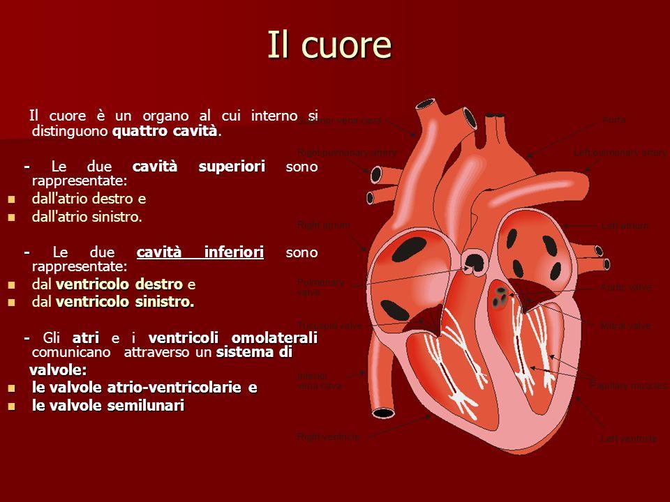 quattro cavità Il cuore è un organo al cui interno si distinguono quattro cavità. - cavità superiori - Le due cavità superiori sono rappresentate: dal