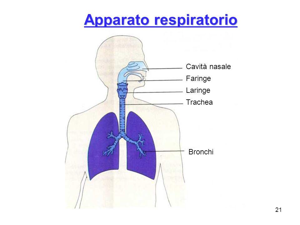 21 Apparato respiratorio Cavità nasale Faringe Laringe Trachea Bronchi