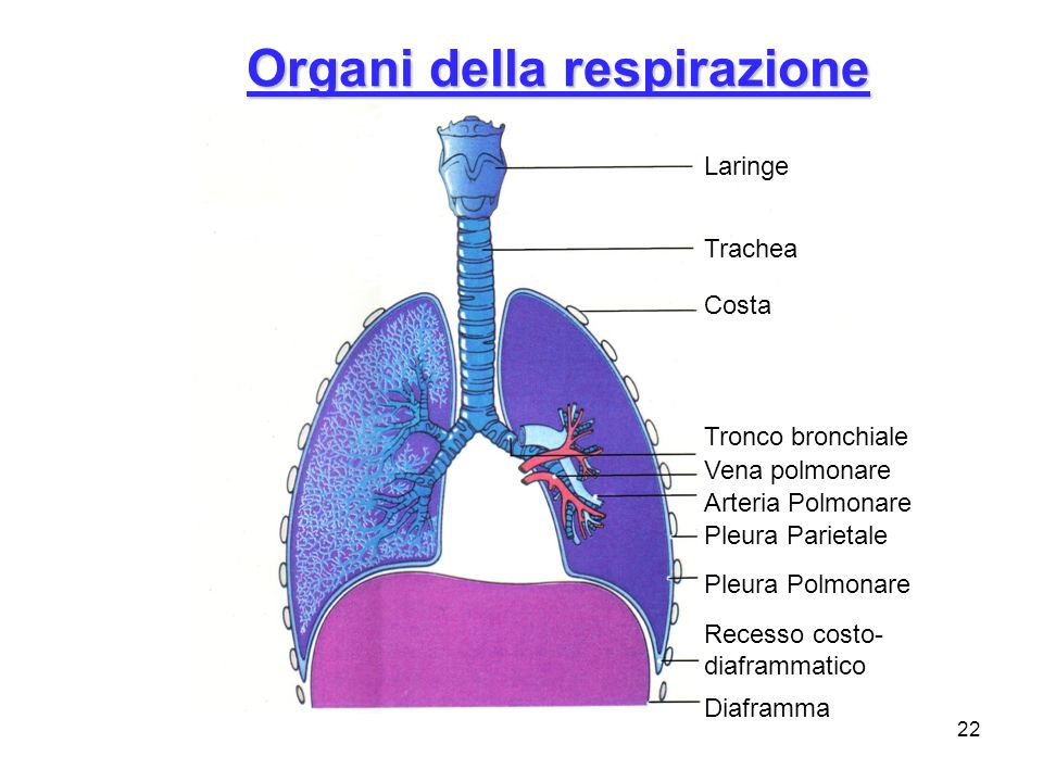 22 Laringe Trachea Costa Tronco bronchiale Vena polmonare Arteria Polmonare Recesso costo- diaframmatico Pleura Polmonare Pleura Parietale Diaframma O