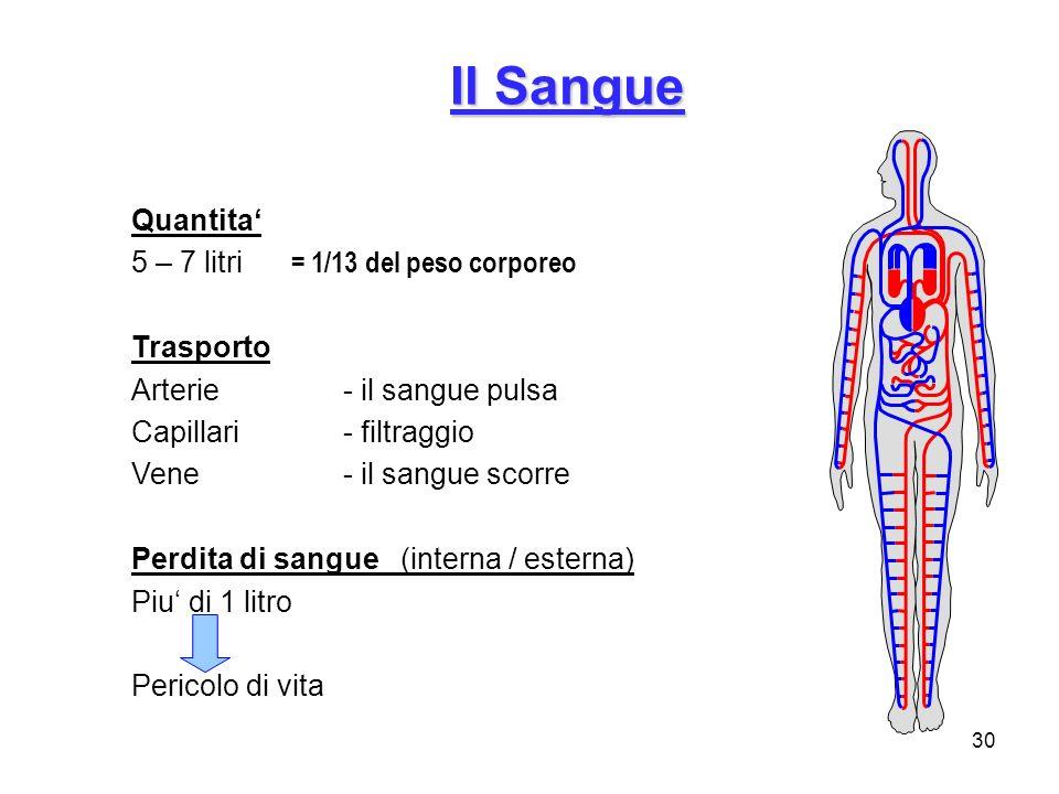 30 Il Sangue Quantita 5 – 7 litri = 1/13 del peso corporeo Trasporto Arterie- il sangue pulsa Capillari- filtraggio Vene- il sangue scorre Perdita di