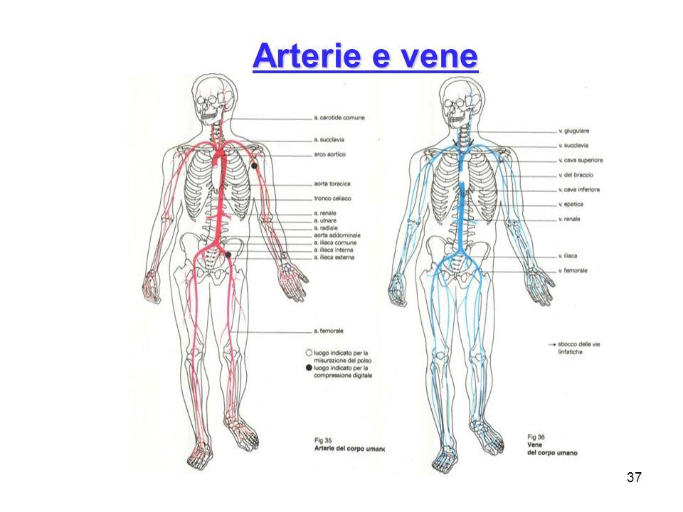 37 Arterie e vene