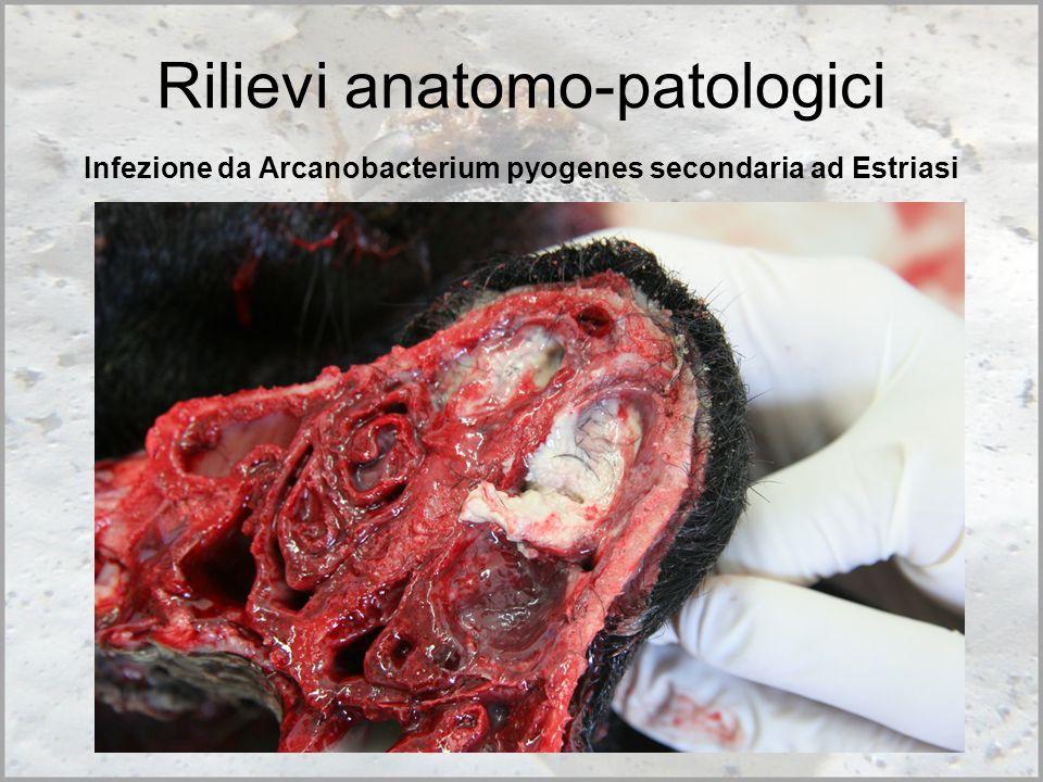 Infezione da Arcanobacterium pyogenes secondaria ad Estriasi