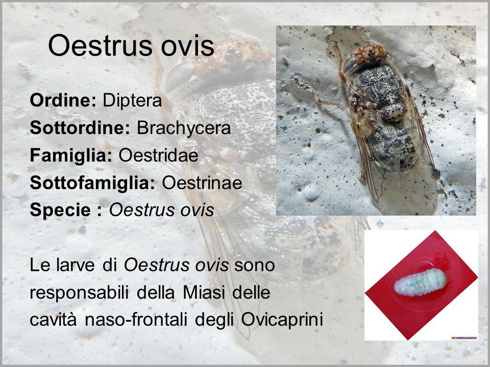 Oestrus ovis Ordine: Diptera Sottordine: Brachycera Famiglia: Oestridae Sottofamiglia: Oestrinae Specie : Oestrus ovis Le larve di Oestrus ovis sono responsabili della Miasi delle cavità naso-frontali degli Ovicaprini