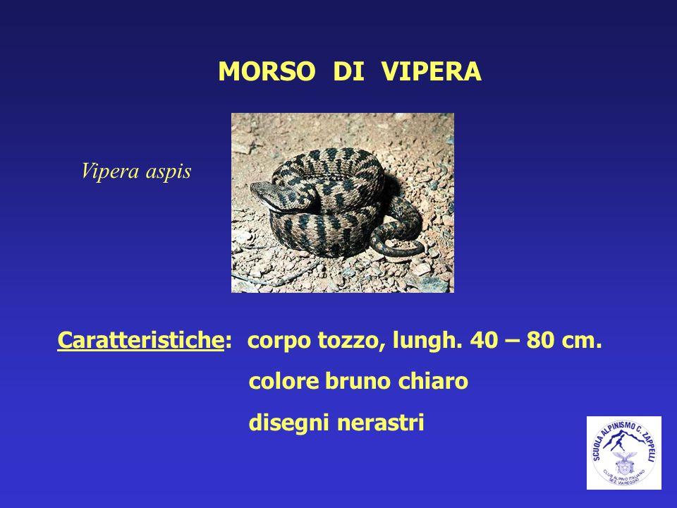 MORSO DI VIPERA Vipera aspis Caratteristiche: corpo tozzo, lungh. 40 – 80 cm. colore bruno chiaro disegni nerastri