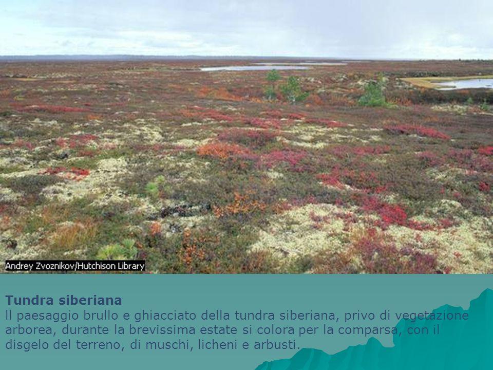 Tundra siberiana ll paesaggio brullo e ghiacciato della tundra siberiana, privo di vegetazione arborea, durante la brevissima estate si colora per la