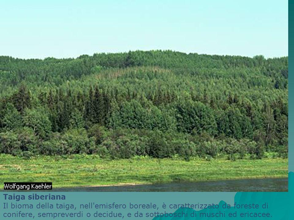 Taiga siberiana Il bioma della taiga, nell'emisfero boreale, è caratterizzato da foreste di conifere, sempreverdi o decidue, e da sottoboschi di musch
