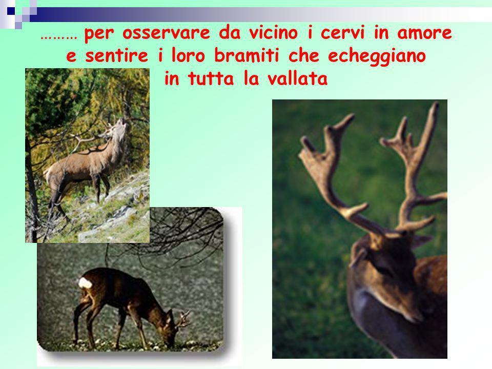……… per osservare da vicino i cervi in amore e sentire i loro bramiti che echeggiano in tutta la vallata