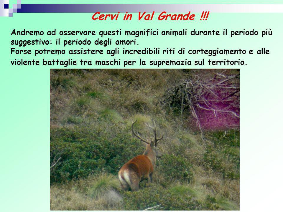 Cervi in Val Grande !!! Andremo ad osservare questi magnifici animali durante il periodo più suggestivo: il periodo degli amori. Forse potremo assiste