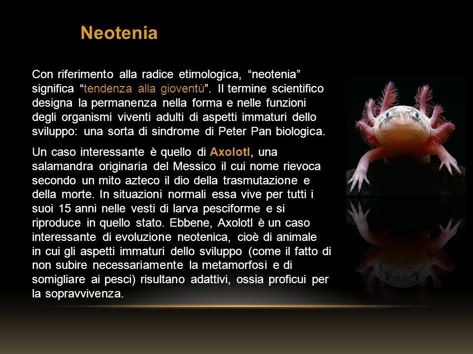 Con riferimento alla radice etimologica, neotenia significa tendenza alla gioventù. Il termine scientifico designa la permanenza nella forma e nelle f