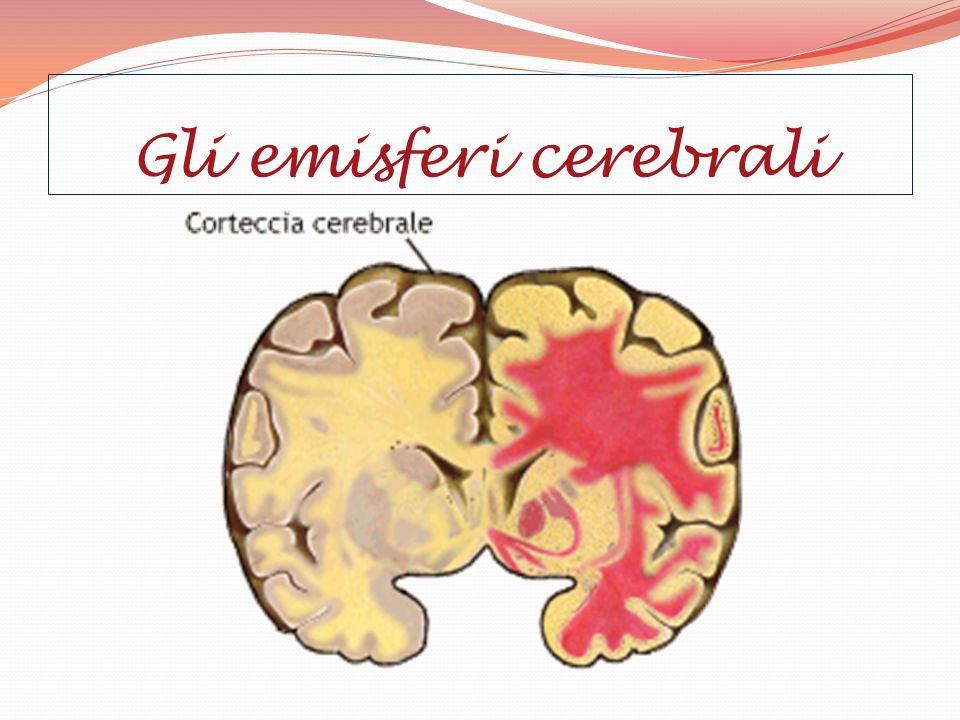 La specializzazione degli emisferi avviene lentamente dalla nascita fino ai 5 anni e poi più velocemente dai 5 ai 16 anni.