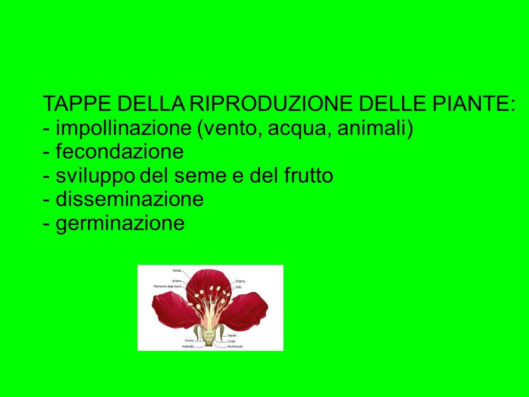 TAPPE DELLA RIPRODUZIONE DELLE PIANTE: - impollinazione (vento, acqua, animali) - fecondazione - sviluppo del seme e del frutto - disseminazione - germinazione